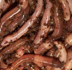Nightcrawlers and earthworms are one of the best fishing baits for a wide variety of freshwater fish. Best Fishing Bait, Fishing Worms, Fishing Tips, Carp Fishing, Walleye Fishing, Fishing Quotes, Ice Fishing, Fishing Tackle, Shade Perennials