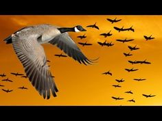 Wisdom of Geese (Motivational) - YouTube