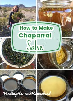 Find out the benefits and uses of chaparral, a plant to forage (or purchase from sustainable bulk herb shops), along with my favorite recipe for chaparral salve. This homemade healing salve is better than neosporin! Great for your natural home apothecary. #salve #recipes #herbal #healing #antibacterial #diy #diyhealing #healingharvesthomestead #bodycare Natural Beauty Remedies, Natural Cures, Herbal Remedies, Natural Health, Natural Medicine, Herbal Medicine, Diy Moisturizer, Herbal Oil, Infused Oils