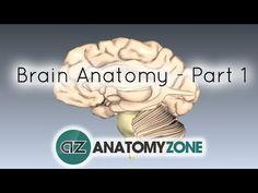 Basic Parts of the Brain – Part 1 – Anatomy Tutorial - Pin Hairs 3d Anatomy, Brain Anatomy, Anatomy And Physiology, Psychology Degree, School Psychology, Brain Parts, Neurological System, Brain Based Learning, Brain Science