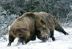 A showcase of brute strength. Two big wild boars fighting over mating rights during rutting season. Bow Hunting Deer, Hunting Dogs, Wild Boar Hunting, Animals Images, Animals And Pets, Hog Pig, Wildlife Art, Animal Paintings, My Animal