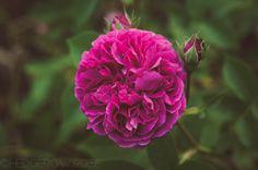 Post image for 'Erinnerung an Brod' Hybrid Setigera Rose