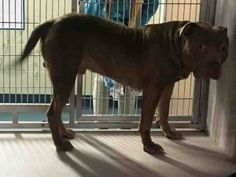 TO BE DESTROYED 08/31/17  BLU 2 YEARS *NEW HOPE RESCUE PARTNER ONLY TO PULL*TO BE MURDERED BY NEW YORK CITY ANIMAL CARE AND CONTROL PARA SER ASESINADOS POR LA CIUDAD DE NUEVA YORK Y ANIMAL CARE AND CONTROL