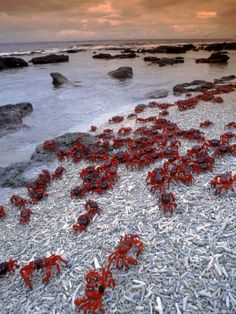 Christmas Island, Australia (red land crabs migration October to November)