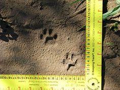 A photo of bobcat tracks Bobcat Tracks, Animal Footprints, North American Animals, Animal Tracks, Deer Print, Mountain Lion, Lions, Trail, Wildlife