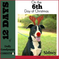 UPDATE - ADOPTED! It's the 6th Day of Dolly Goodpuppy Christmas & our adoptable dog is SIDNEY! Sidney is a year old, female Australian Shepherd mix. She is a beautiful, playful & friendly girl. She still has puppy energy & needs a little manners training, which we are working on. Sidney enjoys playing with other high energy dogs & is very people friendly.   If you are interested in adopting Sidney complete the application at www.dollygoodpuppy.org