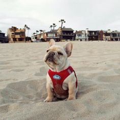 """Aaaaaahh....quicksand"", overly Dramatic French Bulldog at the Beach"
