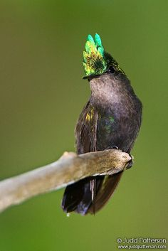 Antillean Crested Hummingbird by Judd Patterson, via Flickr.  always try to target hummingbirds when I visit a new location. This species doesn't show much iridescence except for a big, bright patch on their crest...so I waited for just that moment!