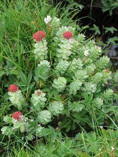 Arctic Tundra Plants with Names | ... tundra plants to ...