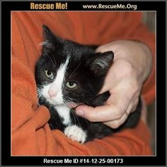 Urgent: This animal could be euthanized if not adopted soon.   Animal ID: 31085053DeeDee (female)  Domestic Cat  Age: Young Kitten  Compatibility:Good with Most Cats, Good with Adults (Not Kids) Personality:Average Energy, Average Temperament Health:Vaccinations Current  8 weeks old and adorable. Miss DeeDee is just cute as a button. If you're interested, do the application asap.   Animal Location:  Wetzel County Animal Shelter RR2 Box 57 Wetzel County New Martinsville, WV…