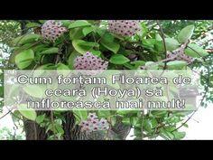 Cum fortam Floarea de ceara (Hoya) sa infloreasca! - YouTube Permaculture, The Creator, Home And Garden, Make It Yourself, Youtube, Gardening, Interior, Plant, Life