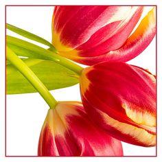 Tulip Display | Flickr - Photo Sharing!