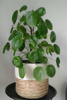 Pannenkoekplant / Chinese moneyplant