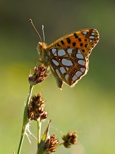 Issoria lathonia | Queen of Spain Fritillary resting on a se… | Flickr