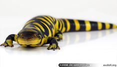 Tiger Salamander @ Dr. John P. Clare, axolotl.org