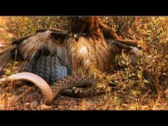 Eagle vs Snake Real Fight | Eagle Attack Snakes - Most Amazing Wild Anim...