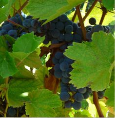 Windcrest Winery - Raymond, Nebraska