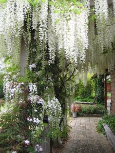 Wisteria hanging in sheer curtains, draping over the trees and the supports. Letting the mind feel the joy of it's sheer loveliness