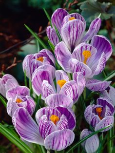 1032b5118ebd Crocus Pickwick -- Bluestone Perennials Dry Garden