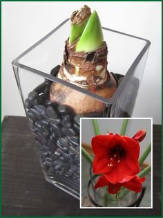 Plant Amaryllis Bulbs in a Glass Vase to bloom at Christmas / Pike Nurseries