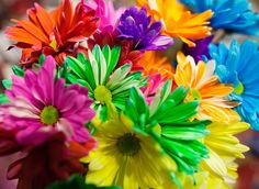 Dyed daisies.  Use any white flower, but daisies and carnations work best.  Cut the flower stems at an angle and place in a glass vase with water, plant food, and 15 drops of food coloring.  After a few days the petals will change color!  Cut daisies last up to 2 weeks.
