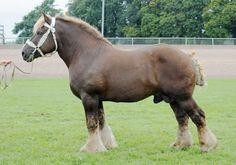 Ardennes - stallion Joyau du Bois des Neppes