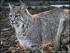 Bobcat Profile 3 by SilkenWinds on DeviantArt Panther, Art Reference, Profile, Deviantart, Cats, Animals, User Profile, Gatos, Animales