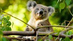one day tour from adalaide =A koala bear in a tree on Kangaroo Island