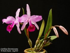 Grupo Orquideófilo del Norte Santafesino: Cattleya lawrenceana