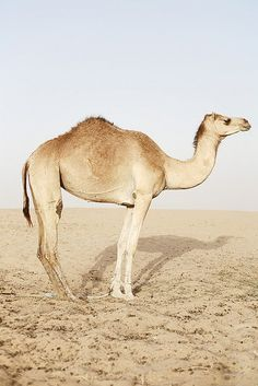 The functions of the camel's hump is storing fat in it's desert habitat.