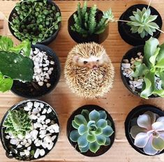 Hedgehog blended in with cactus Happy Hedgehog, Hedgehog Pet, Cute Hedgehog, Cute Baby Animals, Animals And Pets, Cactus, Todays Mood, Pet Costumes, My Animal