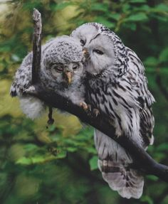 Photograph by Sven Začek She looks sweet grooming her chick, but don't mess with mom's nest: Ural owls are aggressively territor...
