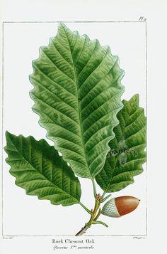 Michaux North American Sylva antique prints by Bessa, Redoute 1819: Rock Chesnut [sic] Oak (chestnut, leaf, leaves, acorn)
