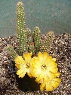 Yellow Bird (old name: Chamaelobivia 'Yellow Bird' Cactus Planta, Cactus Y Suculentas, Succulent Bonsai, Cacti And Succulents, Agaves, Cactus Blossoms, Cactus Flower, Garden Cactus, Desert Plants