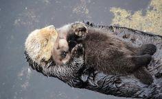 Esta mamá nutria y su bebé están durmiendo una pequeña siesta en la orilla del mar. Los cachorros recién nacidos son tan suaves y pequeños que no pueden flotar en el agua