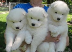 Download Samoyed Chubby Adorable Dog - 25500eb69f746af550fa016ad909df5c--apartment-dog-samoyed-puppies  Pic_201079  .jpg