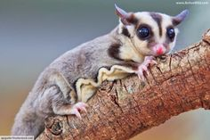 Possum facts for kids sugar glider looking cute home workout plans to lose weight Sugar Glider Care, Sugar Gliders, Sugar Glider Toys, Possum Facts, Japanese Dwarf Flying Squirrel, Baby Animals, Cute Animals, Sugar Bears, Pocket Pet