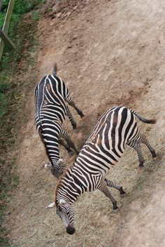 Sky view of zebras. August 2016