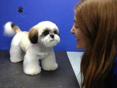 Discover Smart Shih Tzu Puppies Exercise Needs Perro Shih Tzu, Shih Tzu Hund, Shih Tzu Puppy, Shih Tzus, Maltese Shih Tzu, Dog Grooming Styles, Pet Grooming, Corte Shitzu, Shih Tzu Hair Styles
