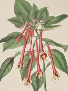 Paxton - Fuchsia - 53 - 1834 Magazine of Botany, Botanical Print