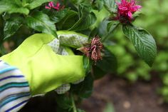 Deadheading a Bee Balm Plant (with Pictures) Pruning Plants, Garden Plants, Bee Balm Plant, Low Growing Shrubs, How To Make Oil, Deadheading, Gardening Tips, Perennials, Outdoor Gardens