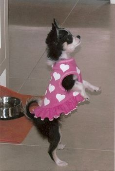 """""""Practice, practice, practice!"""" #dogs #pets #Chihuahuas Facebook.comsodoggonefunny"""