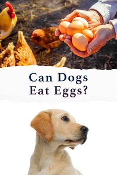 can dogs have eggs Dog Care Tips, Pet Care, Can Dogs Eat Eggs, Dog Health Tips, Dog Eating, Food Safety, Dog Behavior, Dog Quotes, Diet And Nutrition