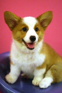 Corgi Puppy Pictures