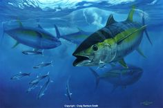 tuna | Yellowfin Torpedo - (Copyright Craig Bertram Smith-2009)