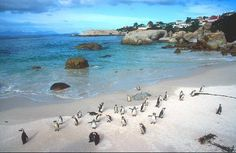 Boulders penguins