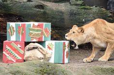 Die Löwin in Hagenbecks Zoo in Hamburg fackelte nicht lange, um ihr Geschenk zu...