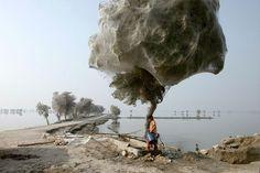 Árboles Tela de Araña- Cuando su hogar normal (el suelo) es arruinado por inundaciones, estas arañas del Medio Este tienden a conquistar los árboles en Pakistan