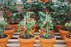 tomates plantados em vasos