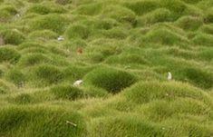 Zoysia Tenuifolia 'no mow lawn', 'Korean temple grass', 'velvet grass', 'petting grass'